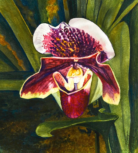 Burgundy_Lady_Slipper.jpg