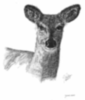 Young Deer.jpg