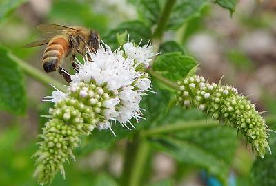 honey bees cat mint.jpg