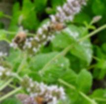 honey bees on cat mint.jpg