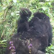 Baby Gorilla Rwanda