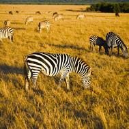 Masai Mara Zebras