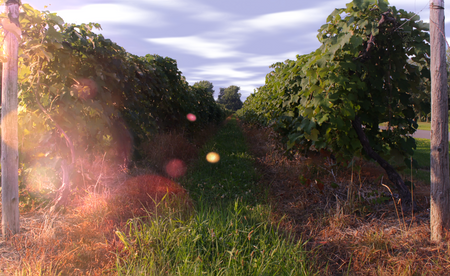 Vineyard at Lake Erie Wine Country