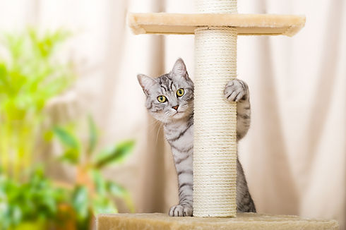 Silver tabby cat with sratching furnitur