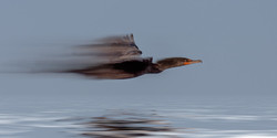 The Worlds Fastest Cormorant