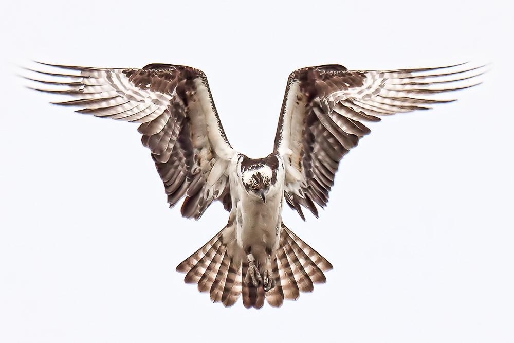 Union lake osprey