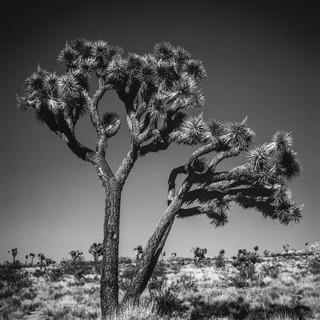 Joshua Tree National Park, 1989