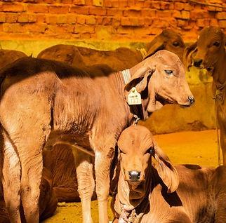 Calves at Milk & Meadows Farm