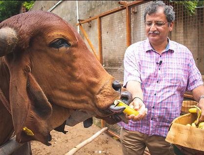 Rahul feeding Bananas to Cows