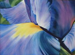 Iris, watercolour, 101 x 85cm