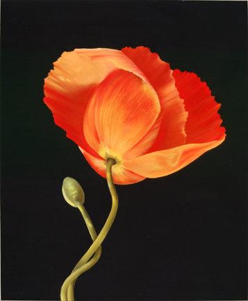 Robert's Poppy