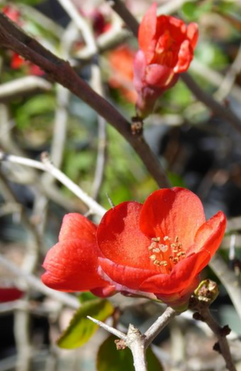 quince superfusion