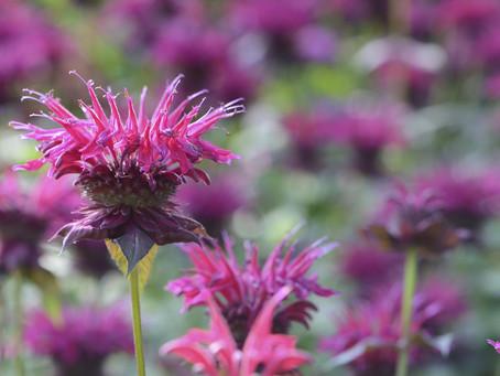 Best Herbs for Deer-Resistance