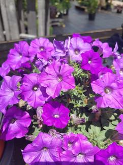 purple petunia.jpg