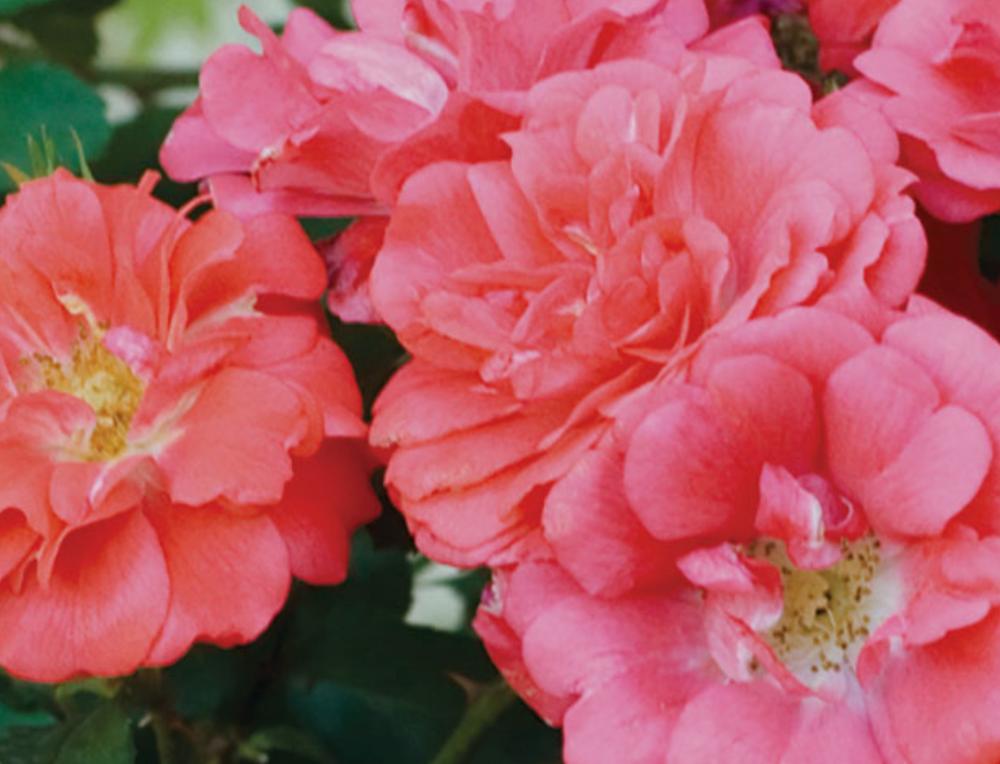 Drift roses Newnan, GA