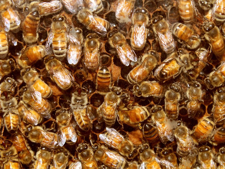What do Bees do over the Winter?
