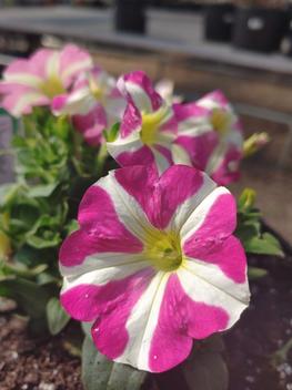 candy stripe petunia
