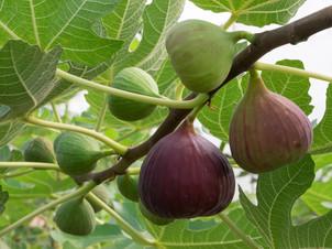 figs-fig-tree.jpg