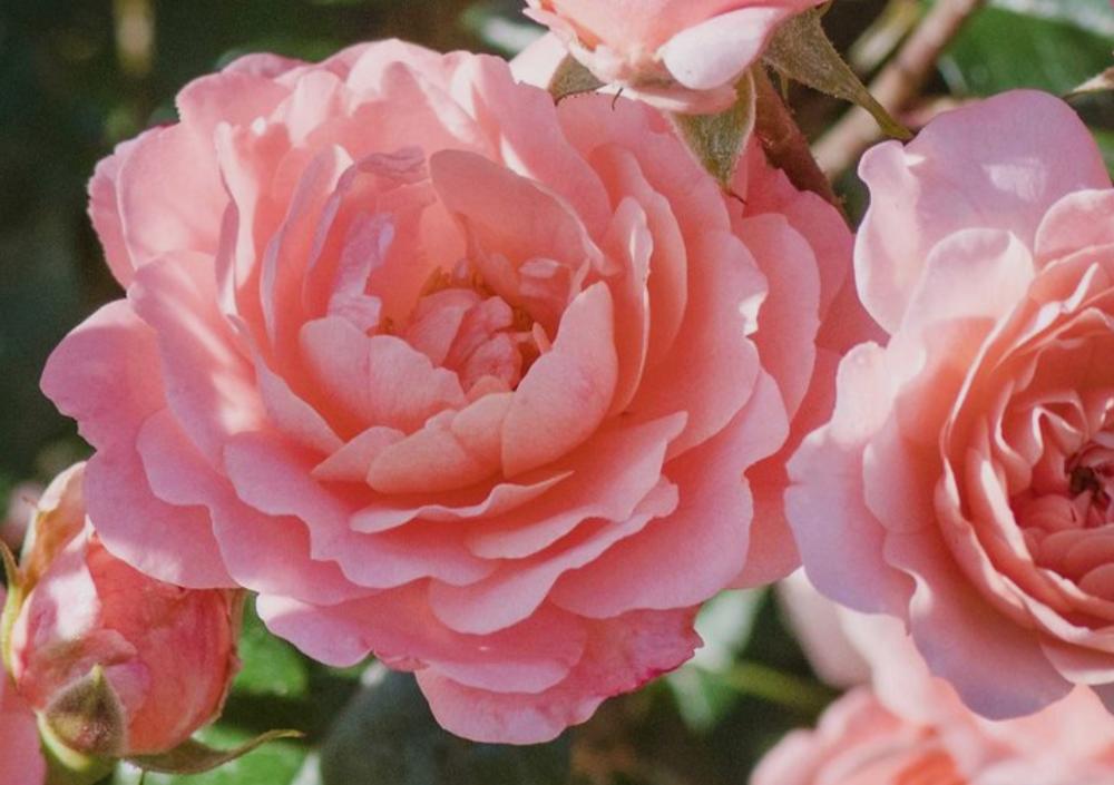 Peach Drift Roses Newnan, GA