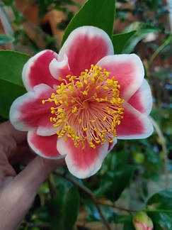 tama glitter camellia