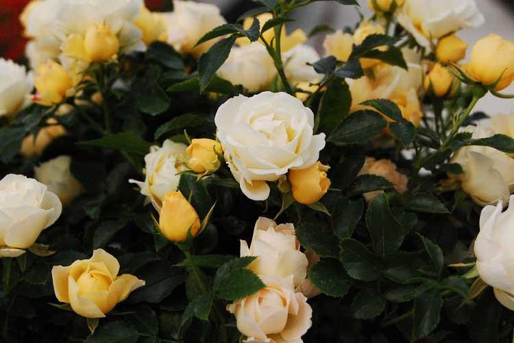 Newnan, GA Drift roses