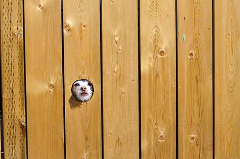 Calgary, Alberta, Ab, Canada, Dog, hole, fence, looking through, burk, mad, pet.jpg