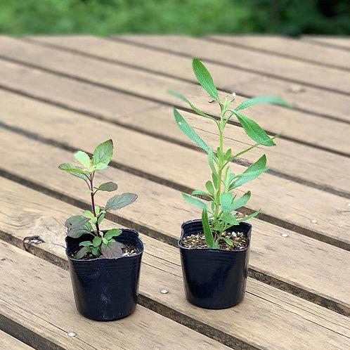 板村浩之さんの聖なるハーブ苗2種セット(無農薬)