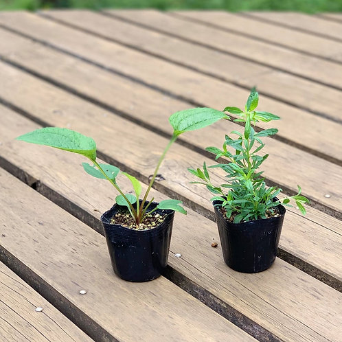 板村浩之さんのお花もたのしむセルフケアハーブ苗2種セット(無農薬)の複製