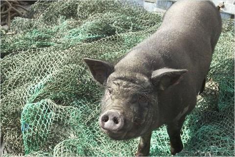 le-cochon-de-gaza-200jpg