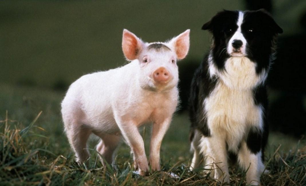 babe-le-cochon-devenu-berger-120jpg
