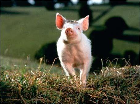 babe-le-cochon-devenu-berger-130jpg