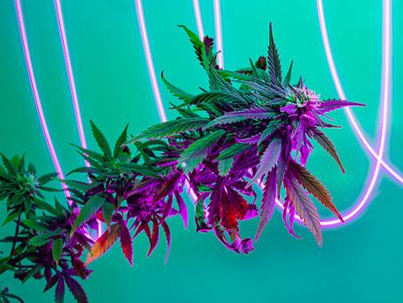 La fermeture des cannabis-club en Espagne ?
