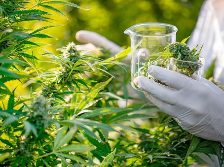 La création du Comité scientifique pour la culture du cannabis en France