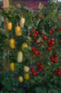 légumes grimpants