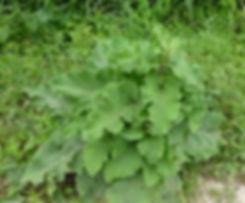 grande bardane permaculture mulch