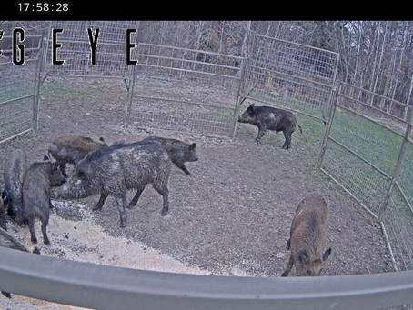 Ag Commissioner Andy Gipson Announces Next Wild Hog Control ProgramApplication Period