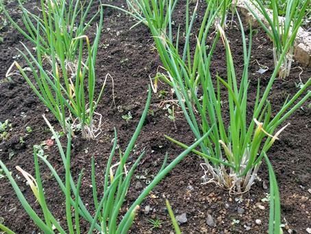 分葱で感じる春の到来