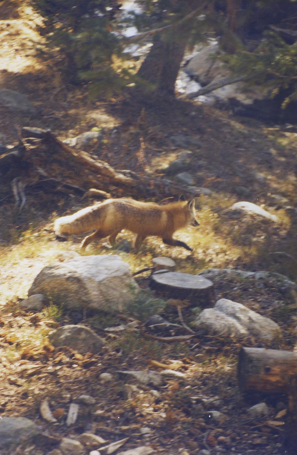Fox walking
