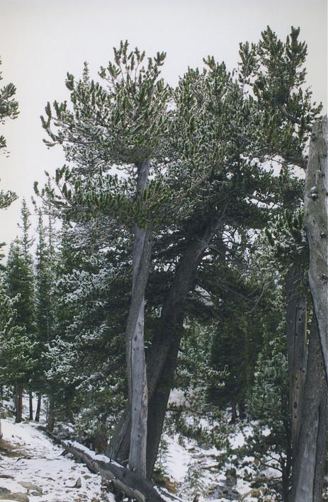 Bristlecone Pine at Glacier