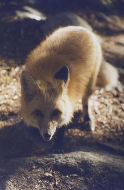 Fox closeup