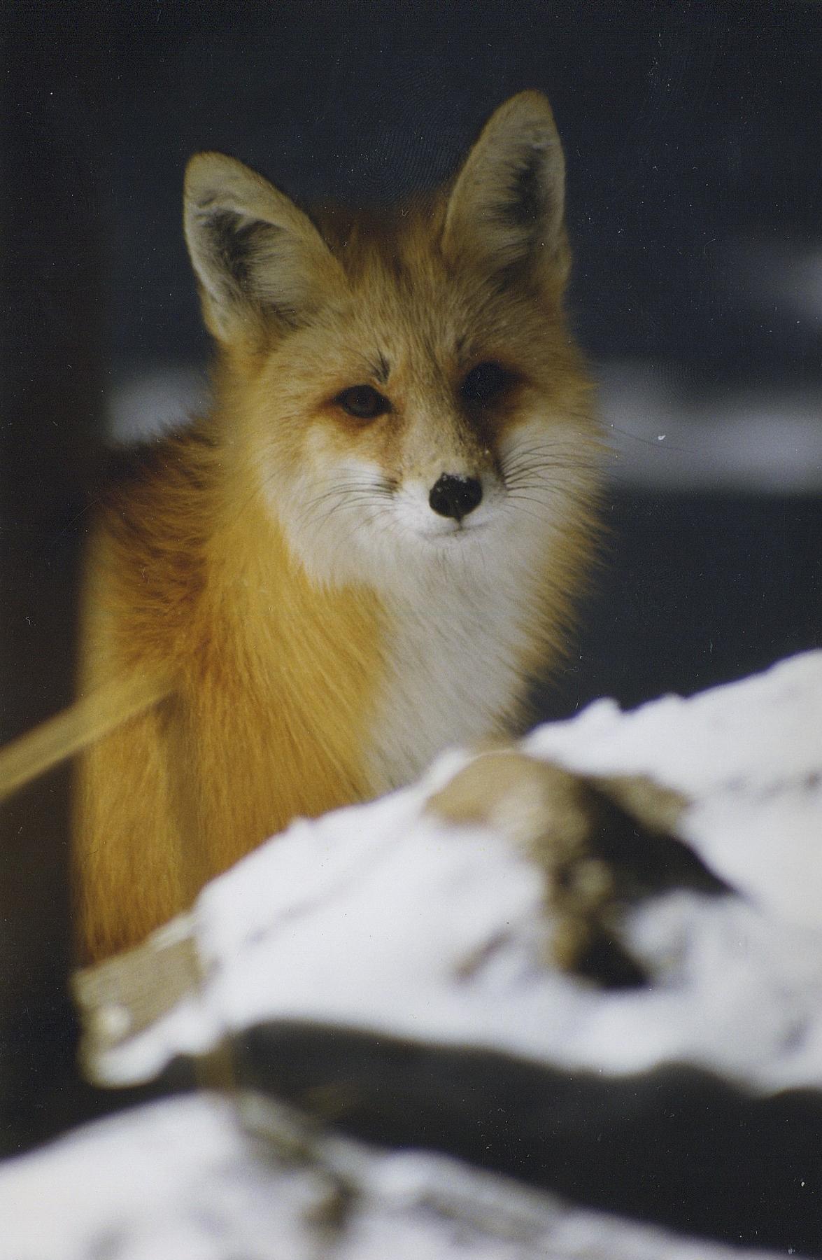Fox in winter closeup