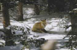 Fox in winter meadow
