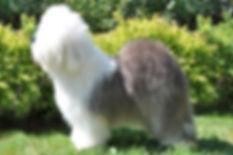 Reata's Pipi  Junior бобтейл , староанглийская овчарка