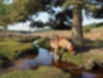 new forest horse-5142021_1920.jpg