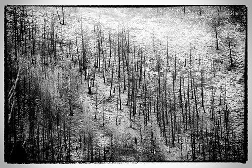 Black & White Forest
