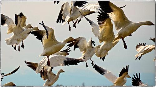 Geese Swarm 3