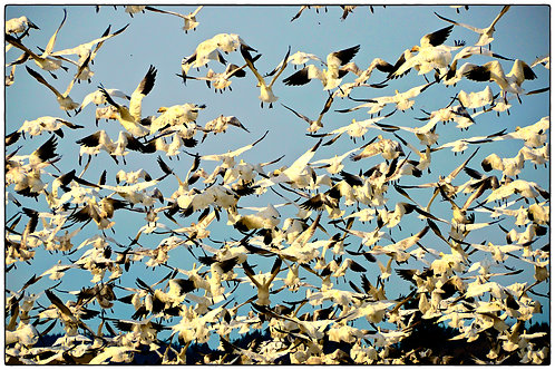 Geese Swarm