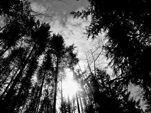 Tall Trees (B&W)