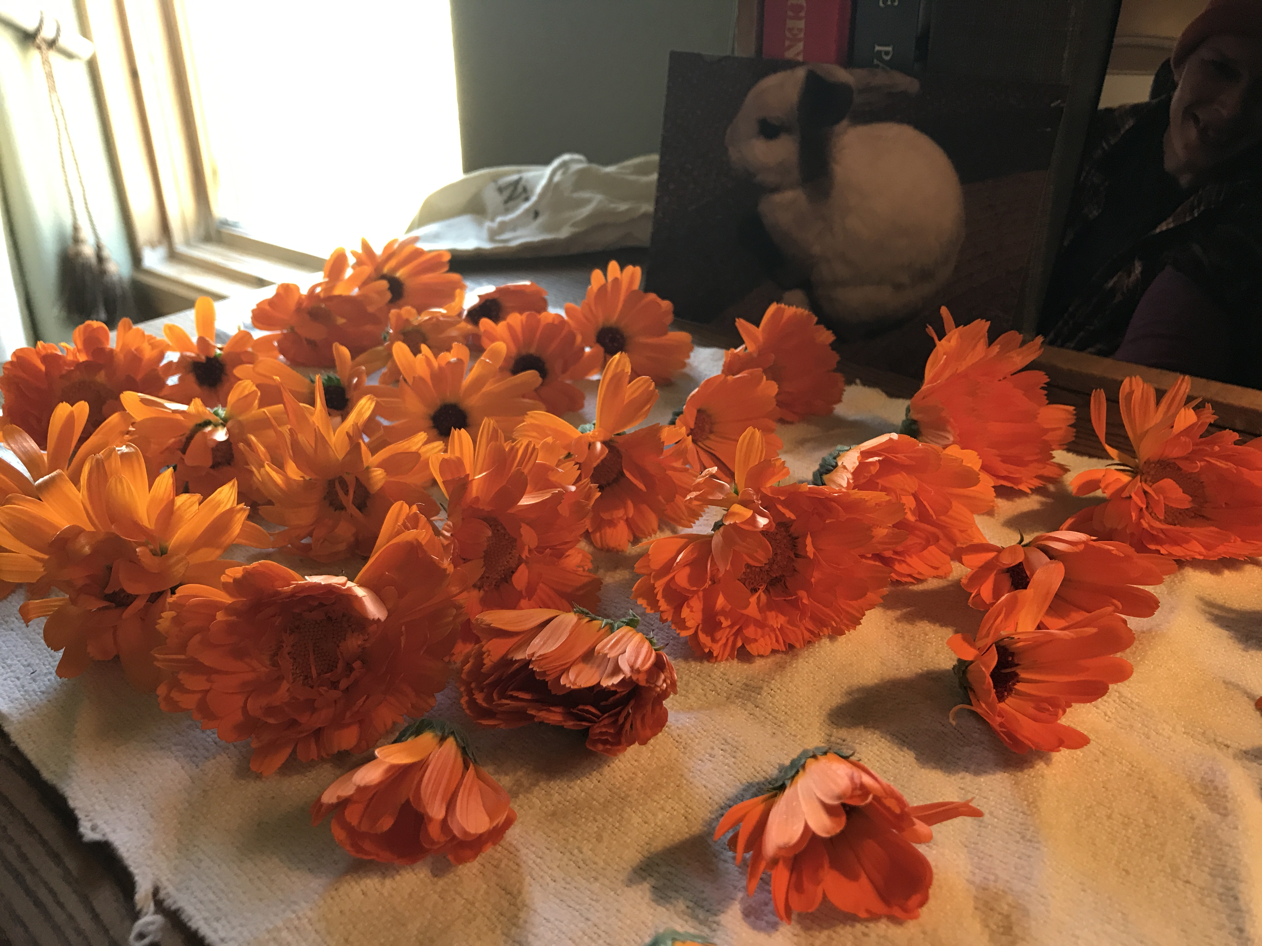 Freshly harvested calendula blossoms
