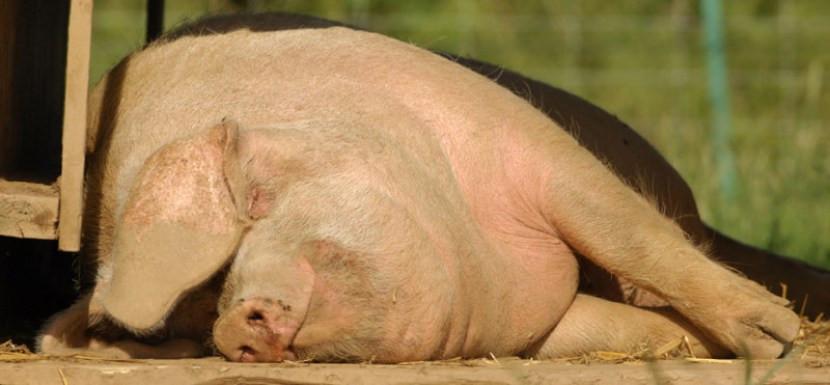 rare_breed_british_lop_pig_sleeping.jpg